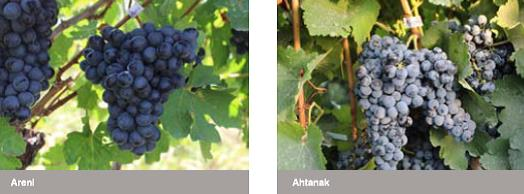 Winemaking in Armenia: Grapes